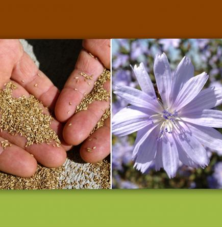 Chicory seed and flower